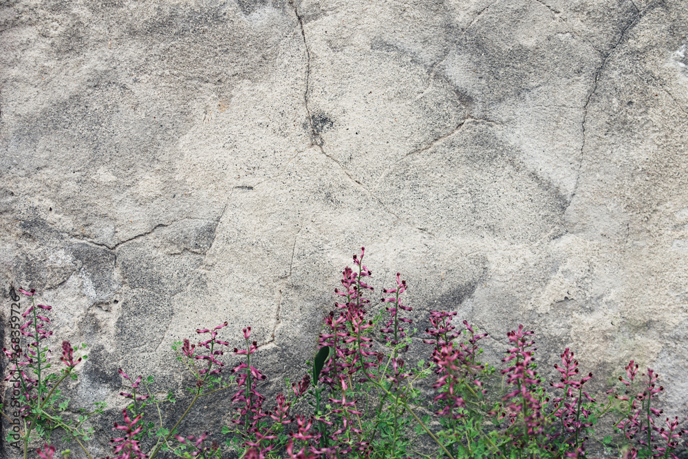 Old gray cement wall with fresh pink flowers. Textured background