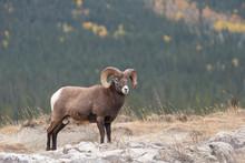 Big Horn Sheep In Jasper Natio...
