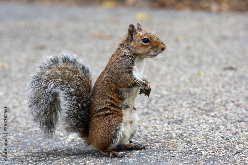 Fototapety, obrazy: red squirrel