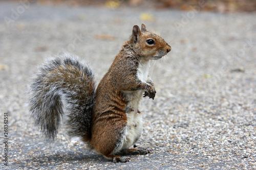 fototapeta na drzwi i meble red squirrel
