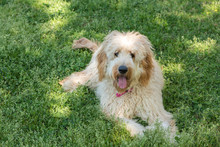 Goldendoodles Are A Canine Mix...