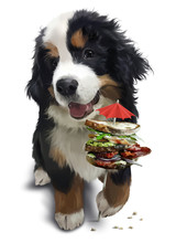 Bernese Mountain Dog And A Big...