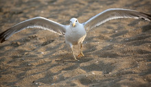Seagull With Open Wings Ready ...