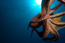 Day Octopus In Sea