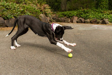 Great Dane Pouncing On Tennis Ball Outdoors