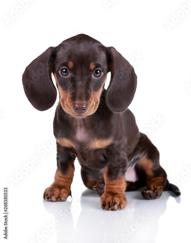 Cute Dachshund Puppy On A White Background Buy This Stock Photo