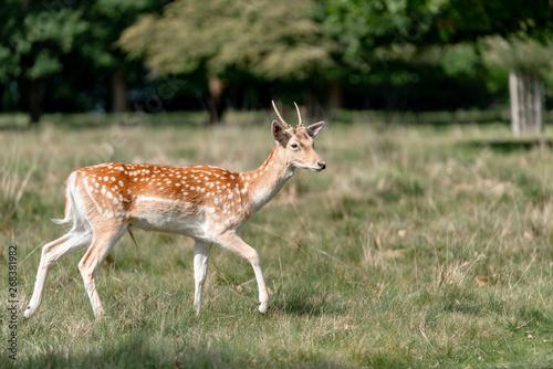 Foto op Aluminium Ree fallow deer in the forest