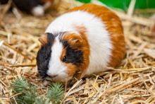 Close Up Of Red Guinea Pig