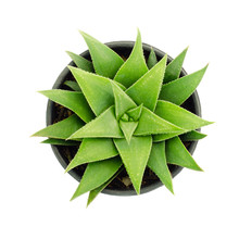 Aloe Vera Plant Isolated On Wh...