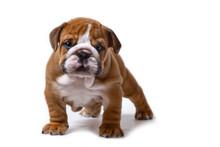 Cute English Bulldog Puppy Sta...