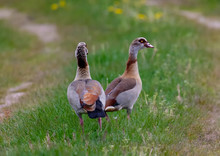 Egyptian Goose Near  A Small P...
