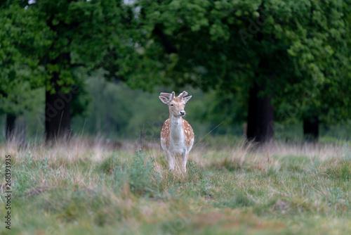 Foto op Canvas Ree fallow deer in the forest