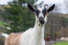 White Goat Looking At Camera Close Up