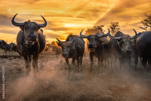 Spoed Fotobehang Buffel Crowd buffalo in sunset, Nakhon si thammarat in Thailand