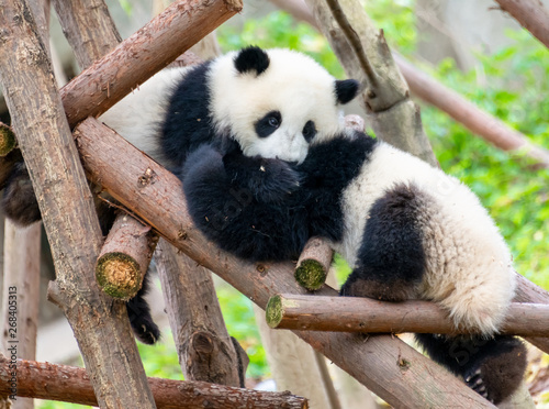 Stickers pour porte Panda Two cute little pandas playing tree-climbing