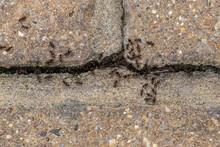 Swarm Of Busy Black Ants (Lasius Niger)