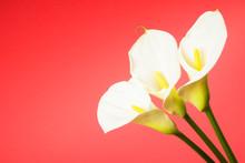 Calla Lily Arum Flower
