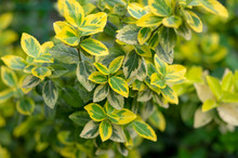 Euonymus Fortunei Emeralnd N Gold Cultivar Leaves, Yellow And Green Leaf, Ornamental Branches