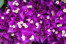 Blooming Purple Bougainvillea ...