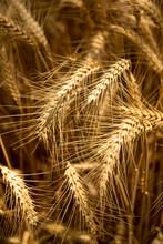Wheat Blades