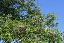 Bead Tree Flowers (Nelia Azedarach / Chinaberry)