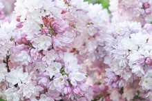 Tender Delicate Pink Lilac, Syringa Vulgaris Double Flowers As A Background