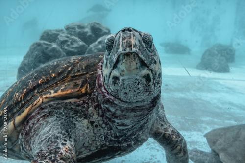 Fotografie, Obraz  Big sea turtle Kareta flowing in a sea water in Japan