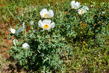 Beautiful White Prickly Poppy ...