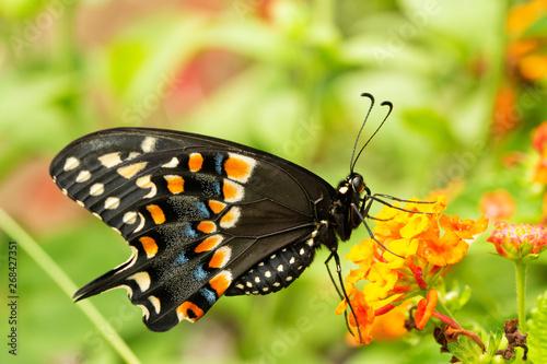 Eastern Black Swallowtail butterfly feeding on a yellow and orange lantana flowe Canvas-taulu