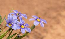 Blue-eyed Grass Fllowers Again...