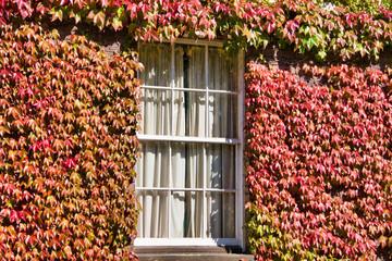 Fototapeta Struktura ściany college window surrounded by red leaves