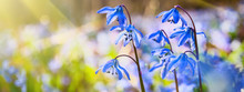 Blue Snowdrop Blossom Flowers In Early Spring In The Forest. Scilla Siberica Squill. Spring Background, Banner.