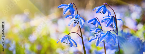 Cadres-photo bureau Fleuriste Blue snowdrop blossom flowers in early spring in the forest. Scilla siberica Squill