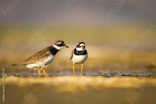 Photo  Cute little water bird plover