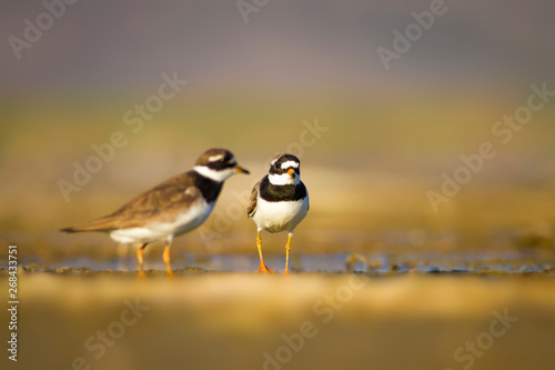 Cute little water bird plover Wallpaper Mural