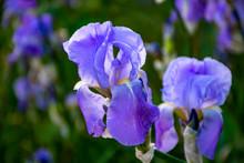 Lilac Iris Flowers, Spring Blo...