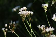 Fragrant False Garlic Flowers (Nothoscordum Gracile)