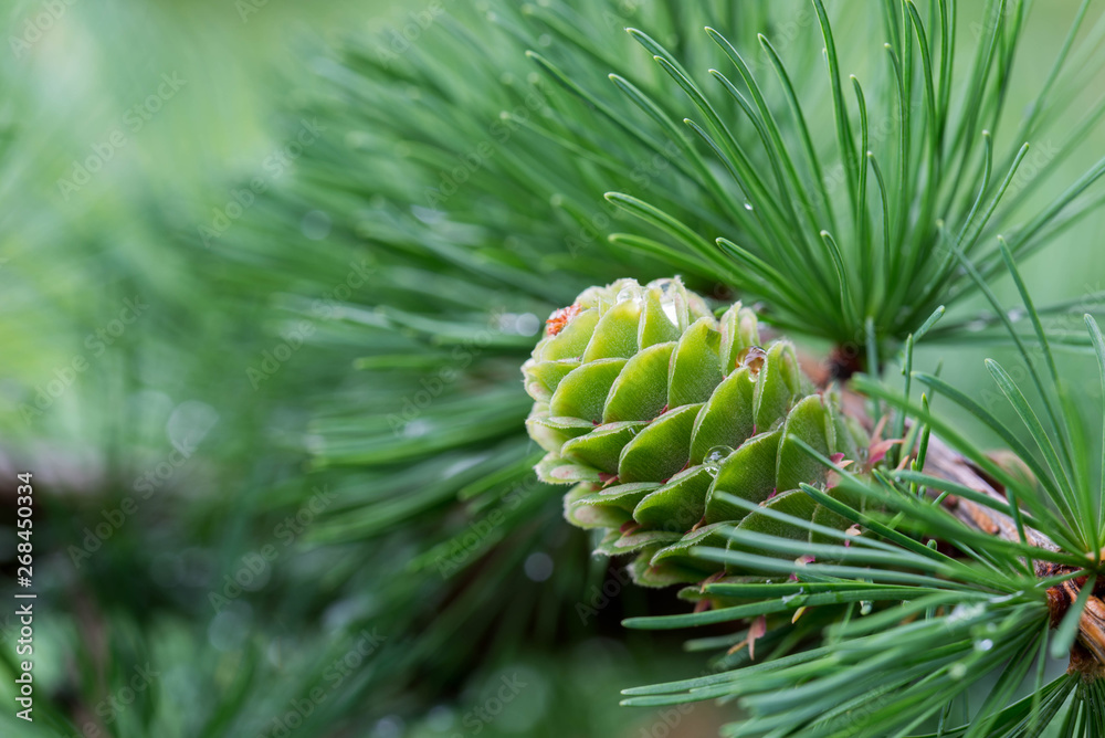 Fototapety, obrazy: spring larch cones on twig