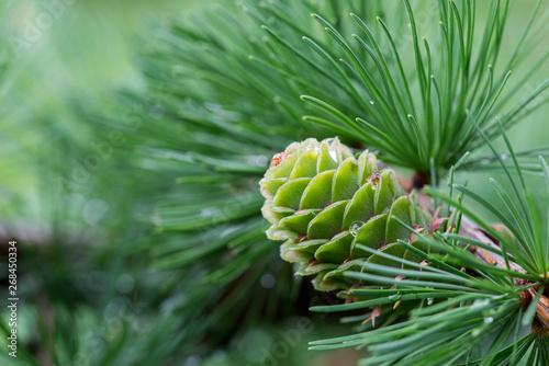 Canvastavla  spring larch cones on twig