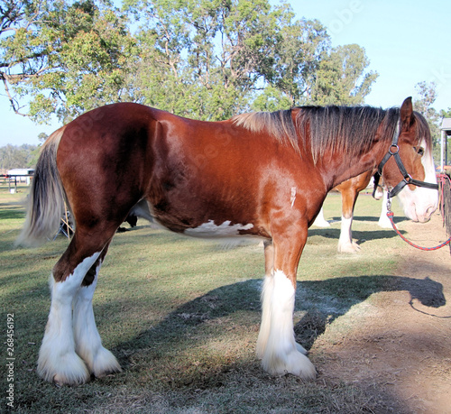 Valokuva Brown and White Clydesdale Heavy Horse