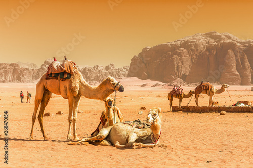 Poster Chameau Beduin and camels in Wadi Rum desert in Jordan
