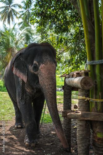 Canvas Print Beautiful elephant in the jungle of Sri Lanka