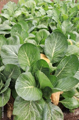 Fototapety, obrazy: 冬野菜の小松菜