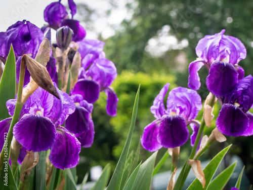 Cultivated flowerd of bearded iris are growing in garden. Kyiv, Ukraine.