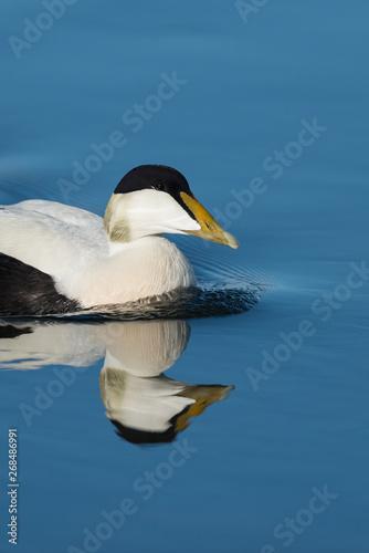 Fototapeten Natur Eider ducks at Jokusarlong glacier lake in Iceland