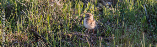 Fototapeten Natur Juvenile of the common redshank or simply redshank (Tringa totanus)