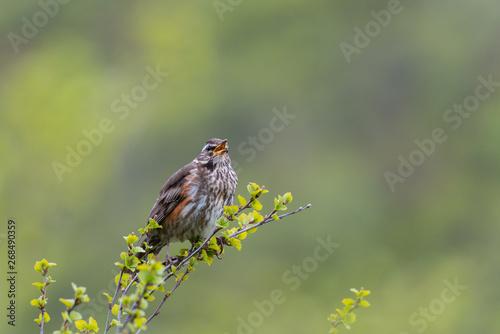 Fototapeten Natur Singing Redwing (Turdus iliacus) trush in green surrounding
