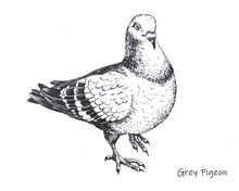 Hand-drawn City Grey Pigeon Pe...