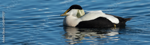 Fototapeten Natur Male common eider seaduck on the waters of Jokusarlon glaciar lake