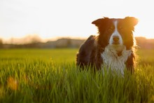 Black And White Border Collie In Green Meadow With Grass At Spring Sunset
